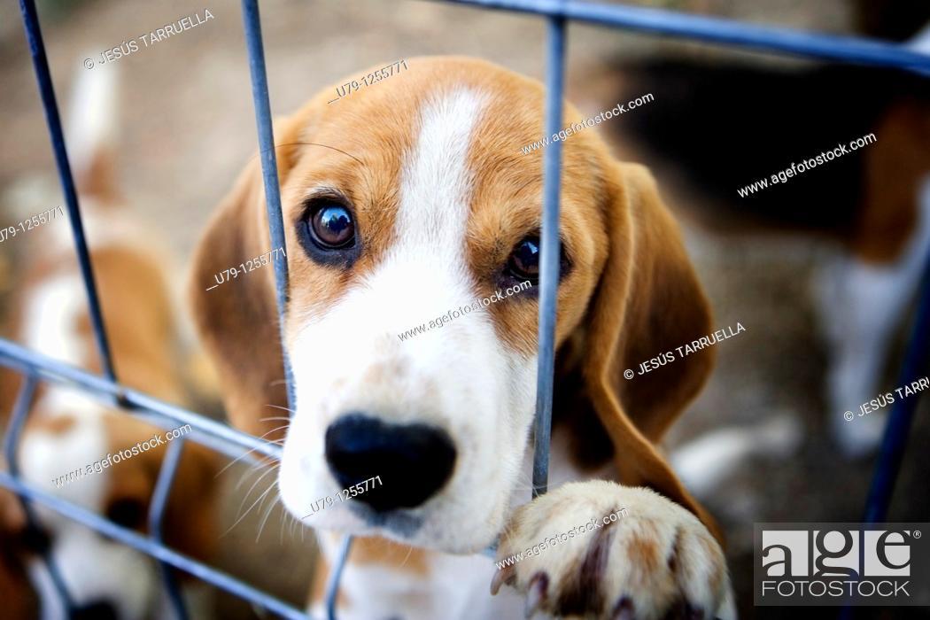 Stock Photo: Hound puppy.