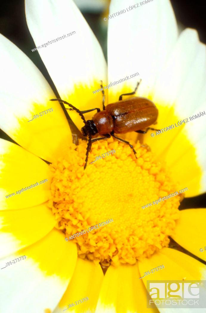 Stock Photo: Lily Leaf Beetle (Lilioceris lili).