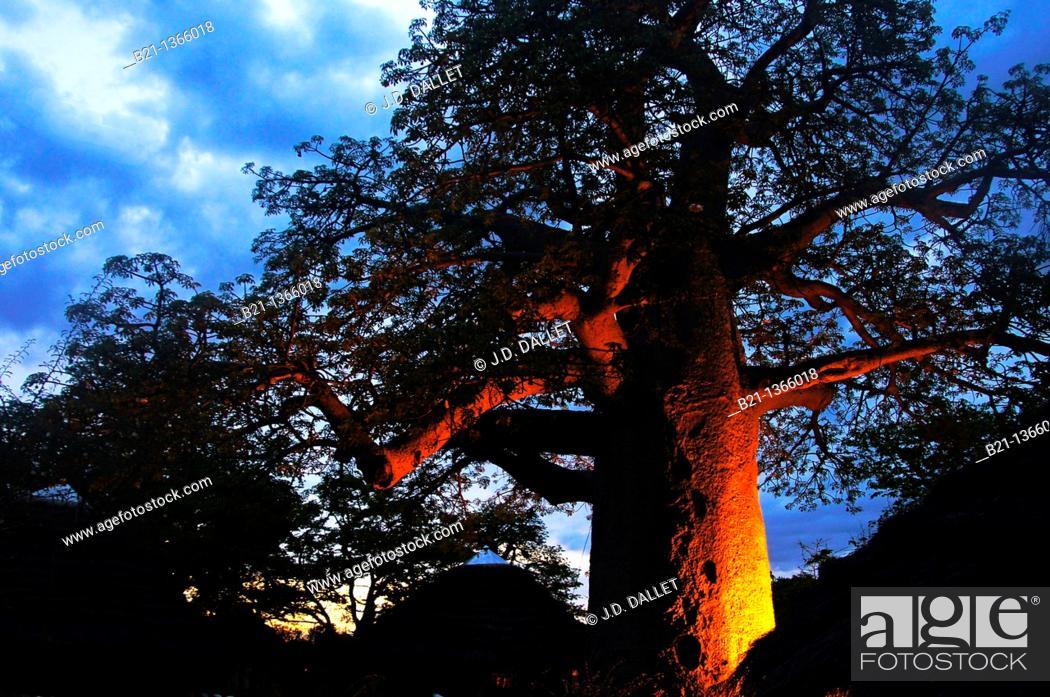 Stock Photo: Baobab tree at 'Planet Baobab', Gweta, Botswana.
