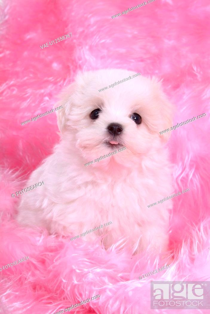 Stock Photo: posed, domestic, pose, house pet, canines, posing, maltese.