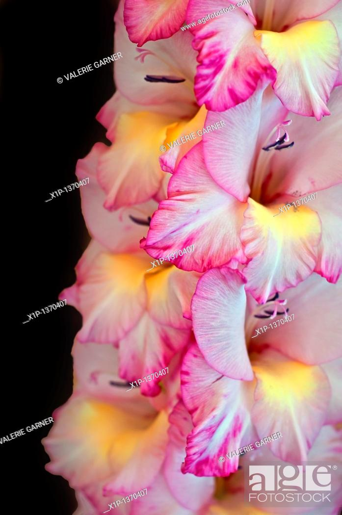 Stock Photo: This vertical stock image is a Gladiolus flower, macro closeup  The soft petals are white with pink edges and yellow towards the center of the blooms.