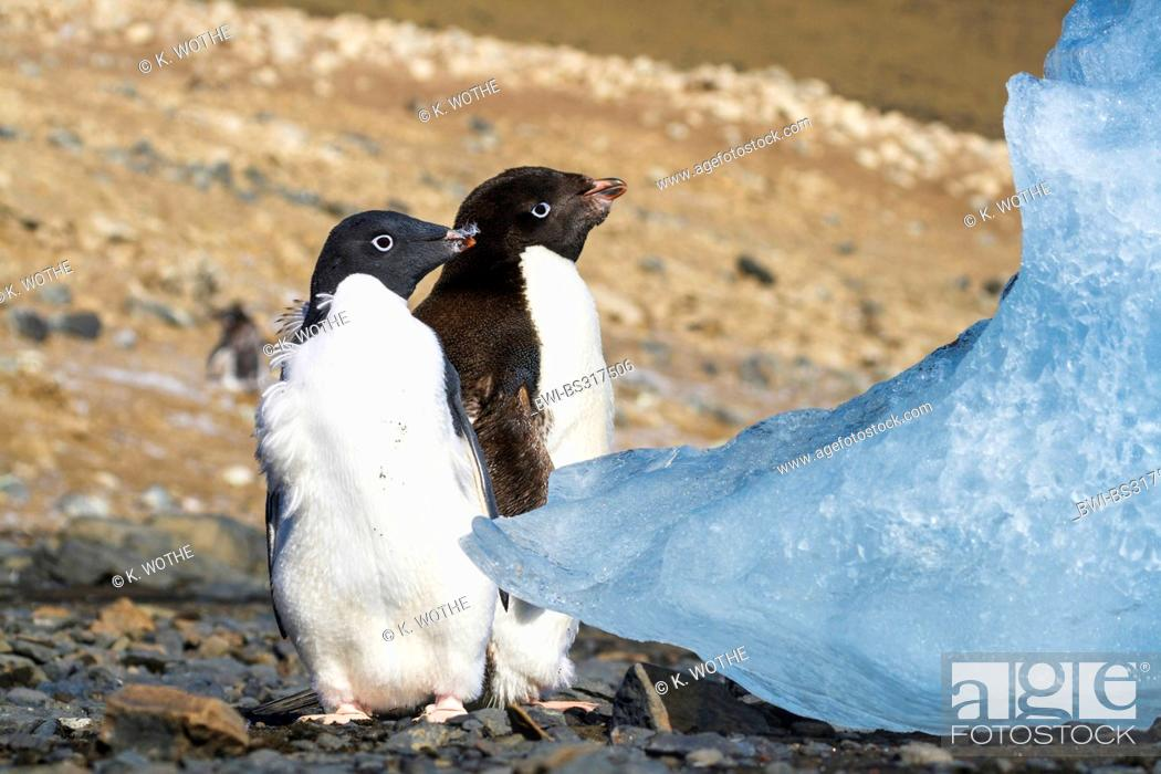 Stock Photo: adelie penguin (Pygoscelis adeliae), two young Adelie Penguins moulting, Antarctica, Devil Island.