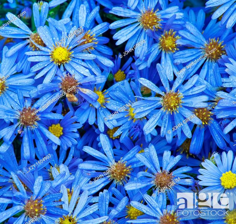Stock Photo: Asters in bloom.