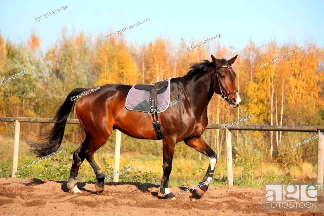 Beautiful Bay Horse Trotting In Autumn Stock Photo Picture And Low Budget Royalty Free Image Pic Esy 015318684 Agefotostock