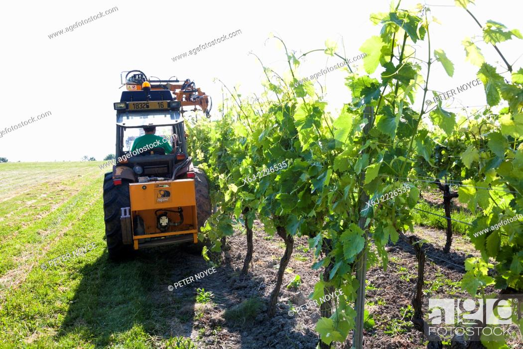 Stock Photo: Raised branches of grape vines by mechanical means.