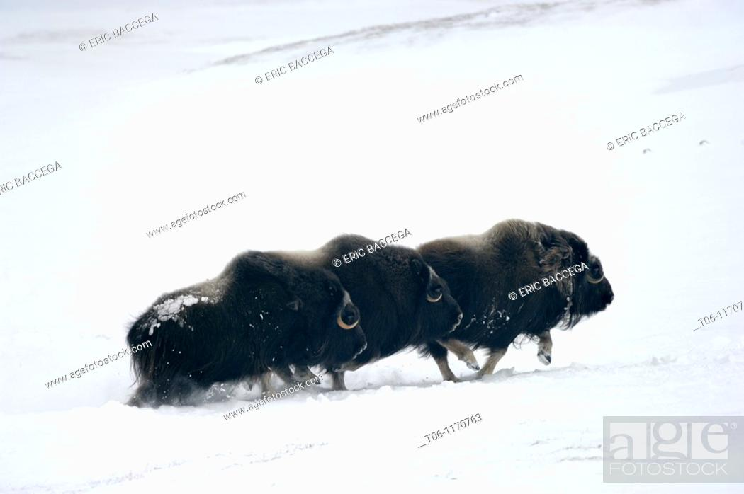 Stock Photo: Three Muskox running through snow Ovibos moschatus Banks Island, North West Territories, Canada.