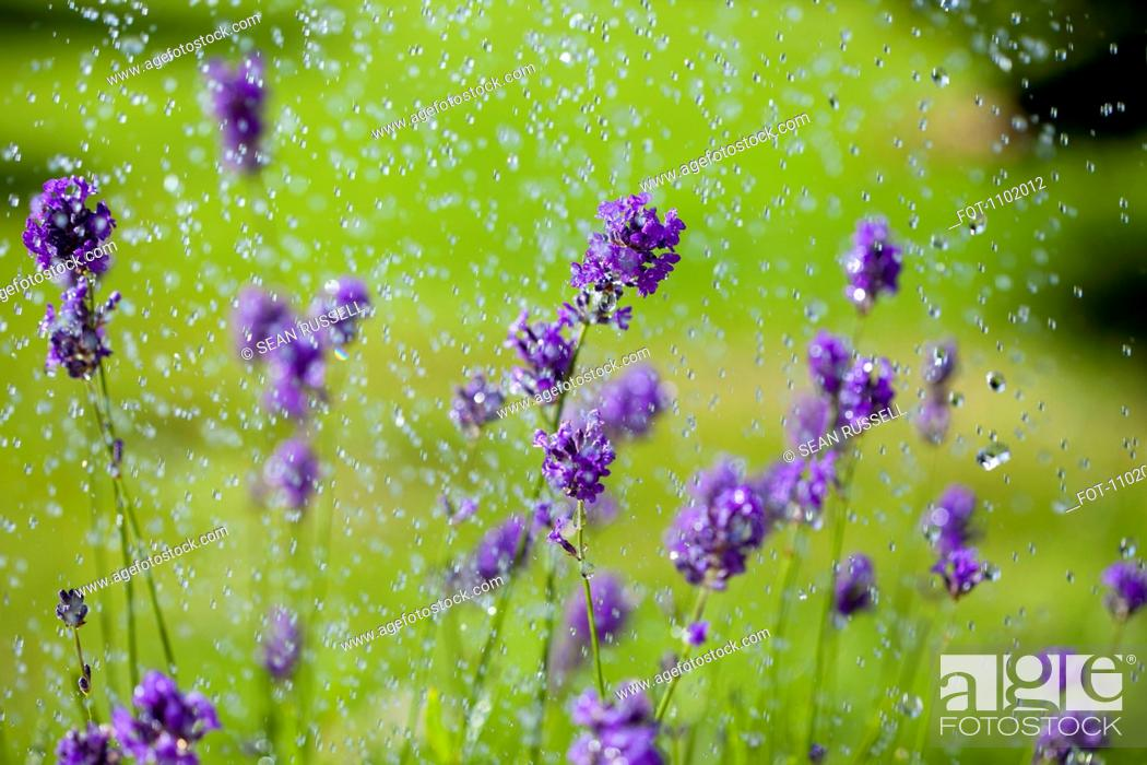 Stock Photo: Water drops falling on lavender flowers.