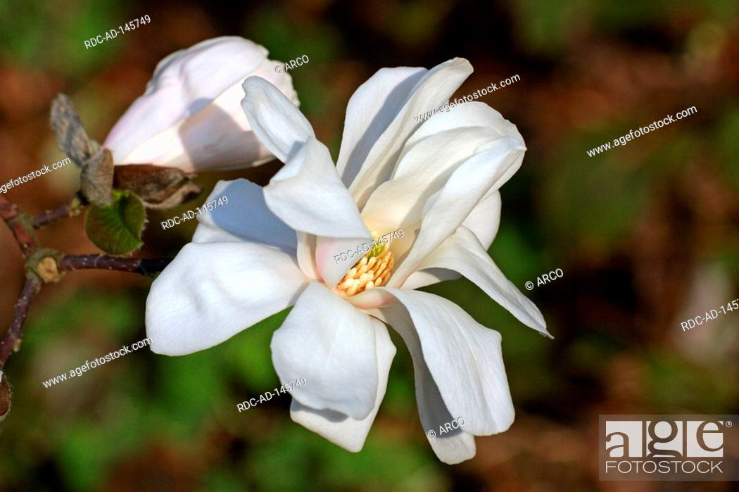 Stock Photo: Magnolia 'Merrill' Magnolia x loebneri.