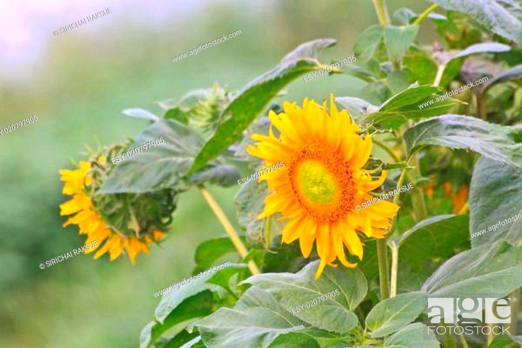 Stock Photo: beautiful sunflower in field.