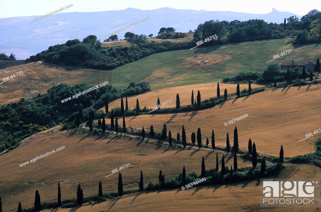 Stock Photo: Tuscany cypress alley.