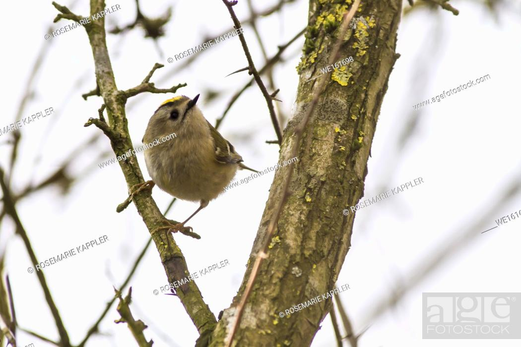 Stock Photo: Germany, Saarland, Homburg - A goldcrest is sitting on a branch.