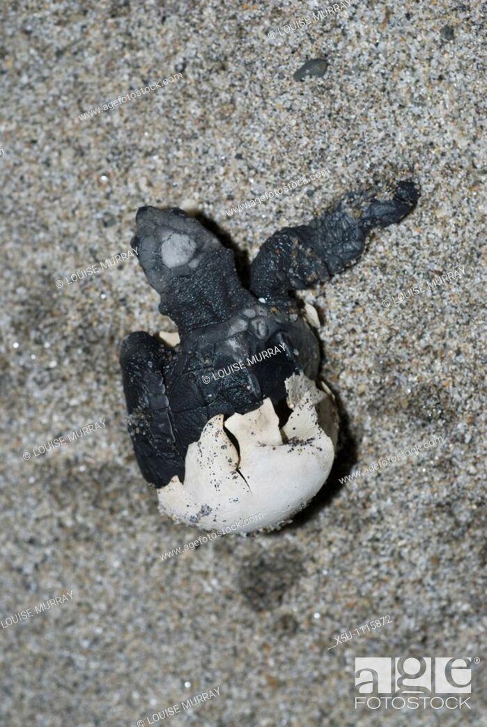 Stock Photo: baby turtles emerging from the egg Olive Ridley turtles, Barra de la Cruz,Huatulco, Oaxaca, MexicoOlive Ridley turtles, Barra de la Cruz,Huatulco, Oaxaca.