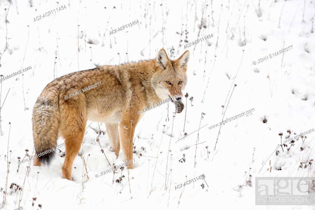 Photo de stock: Coyote mousing in Banff National Park, Alberta, Canada.