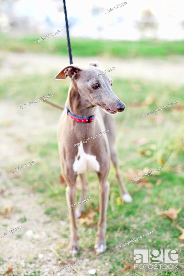 Stock Photo: An old Italian greyhound.