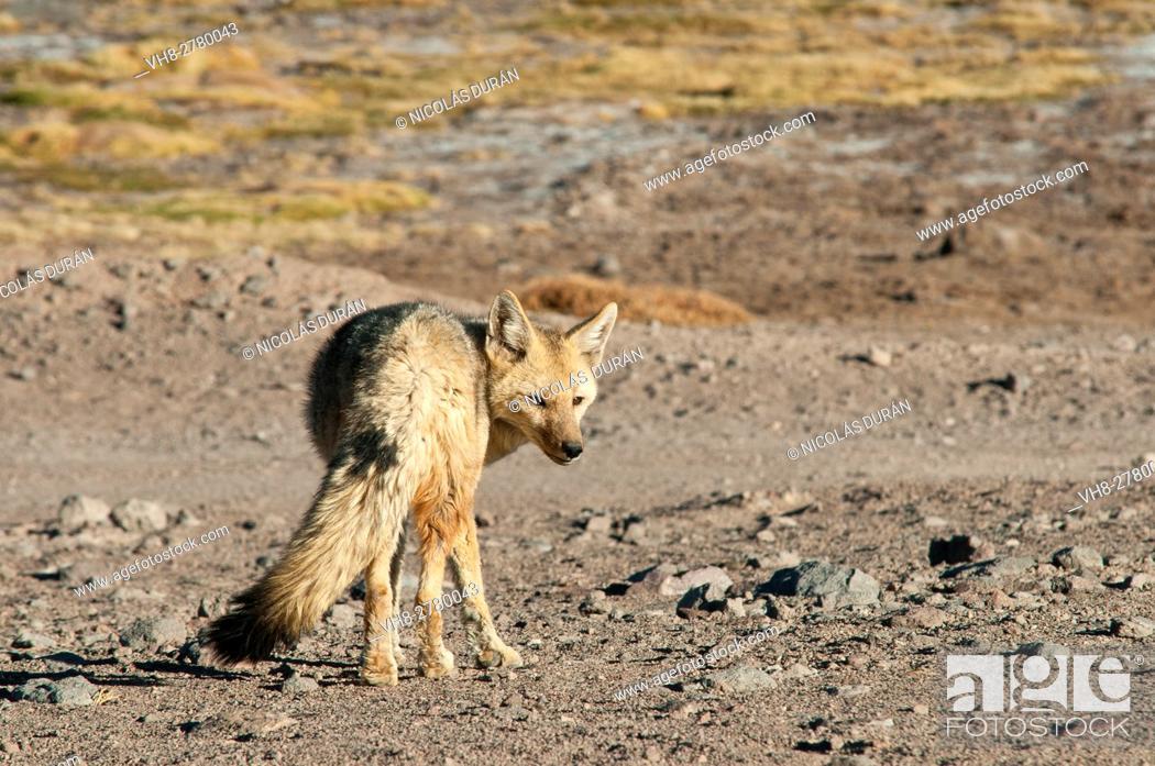 Stock Photo: Adult culpeo or Andean fox (Dusicyon culpaeus), Nevado Tres Cruces National Park, Atacama Region, Chile.