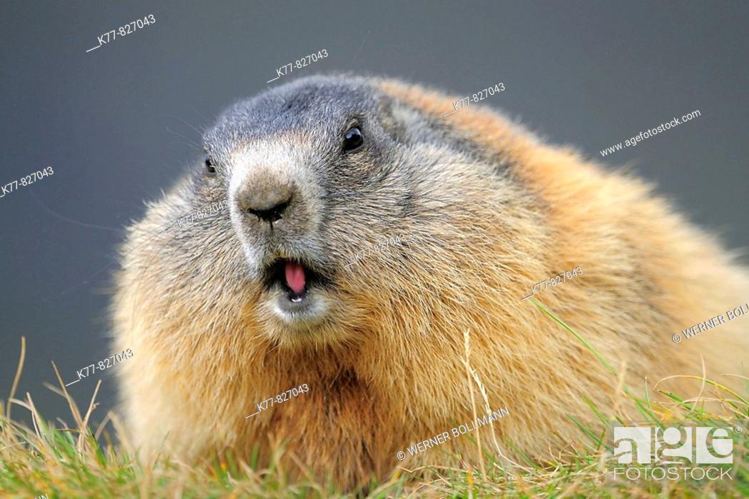 Stock Photo: Alpine Marmot (Marmota marmota). Großglockner, Austrian Alps.