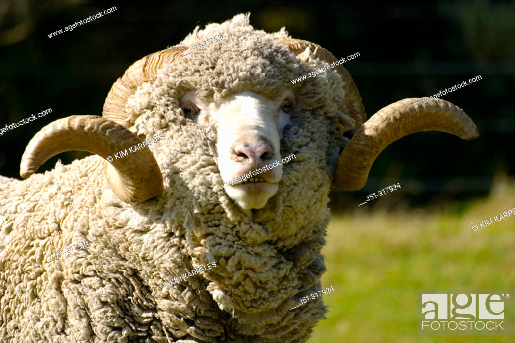 Stock Photo: Saxon Merino sheep, look at camera, curved horns. New Zealand.