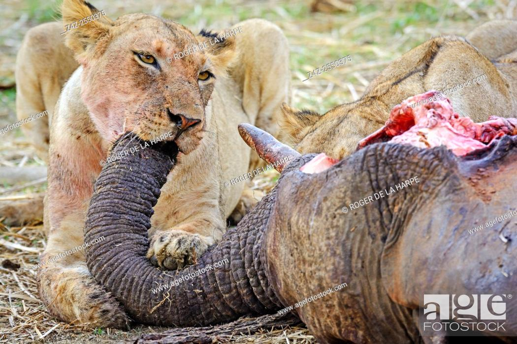 Imagen: Masai lion or East African lion (Panthera leo nubica syn. Panthera leo massaica) feeding on an African bush elephant (Loxodonta africana) that they have killed.