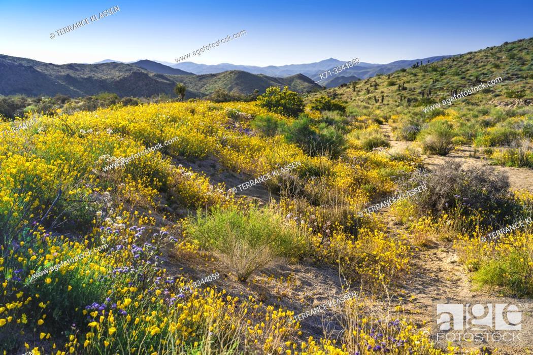 Photo de stock: Spring wildflowers blooming in Joshua Tree National Park, California, USA.