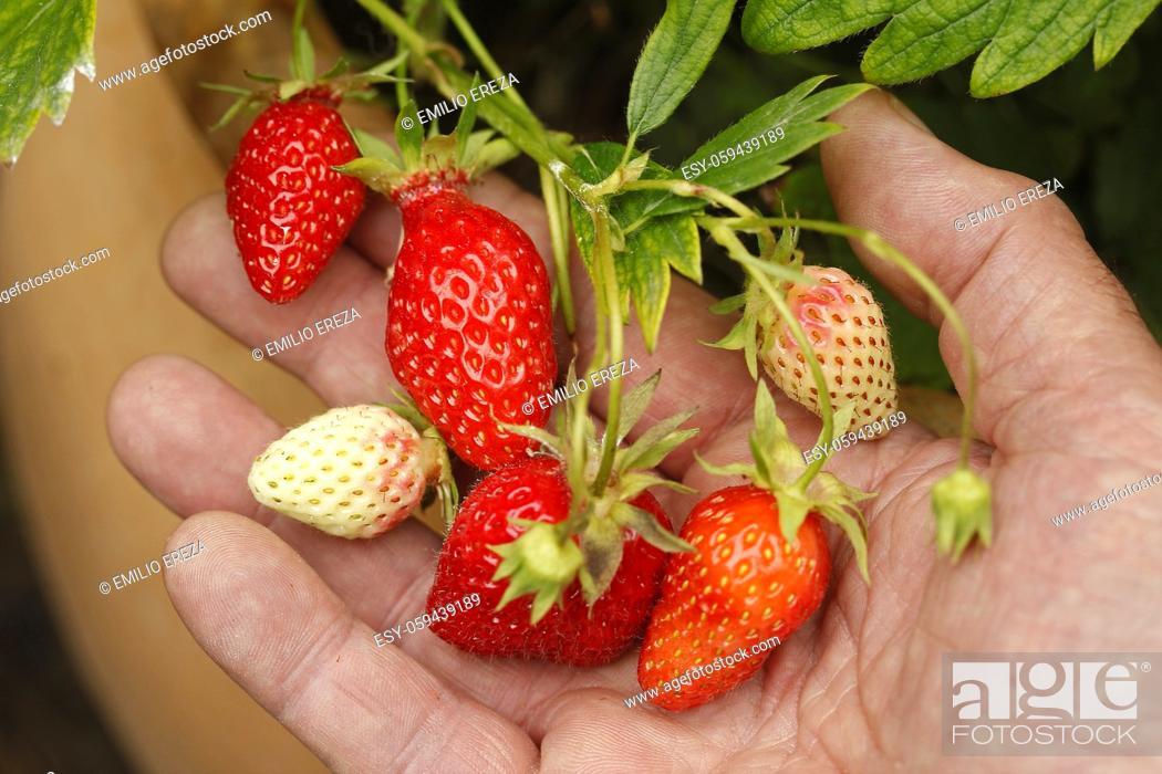 Stock Photo: Picking strawberries.