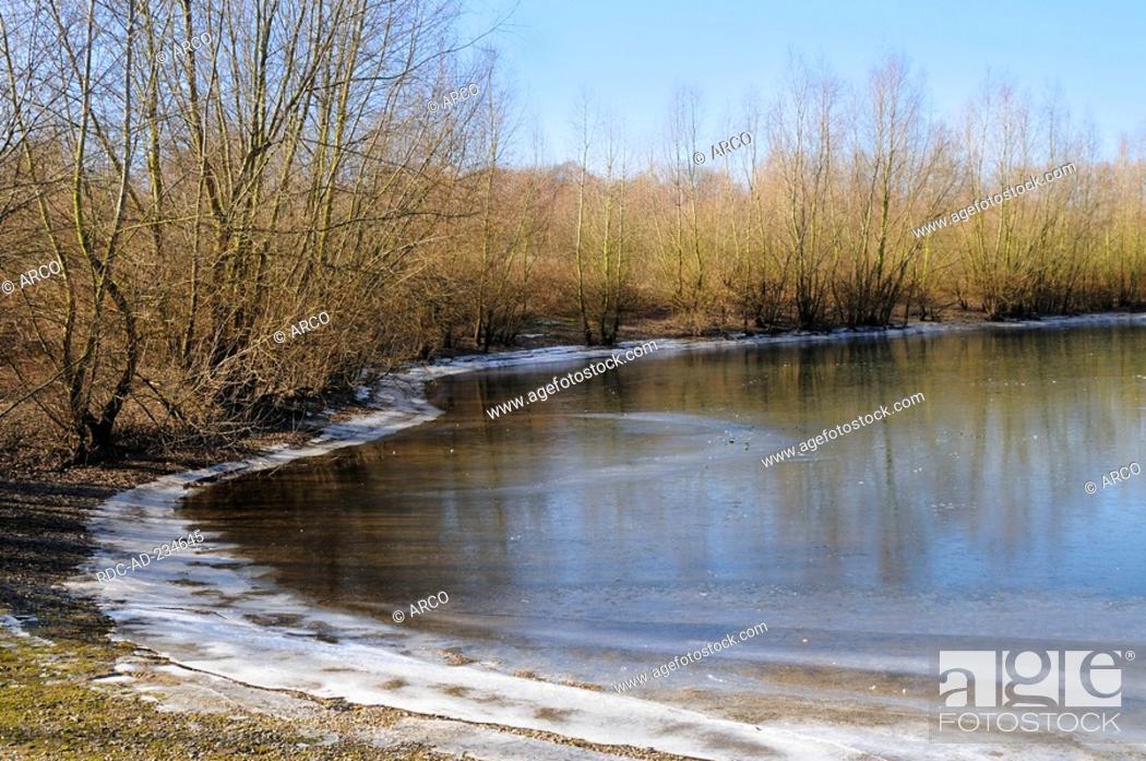 Stock Photo: White Willows, North Rhine-Westphalia, Germany, Salix alba.