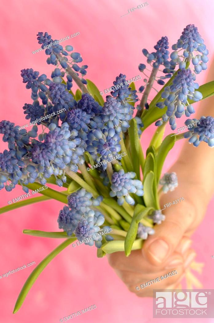 Stock Photo: grape hyacinths with rose background.