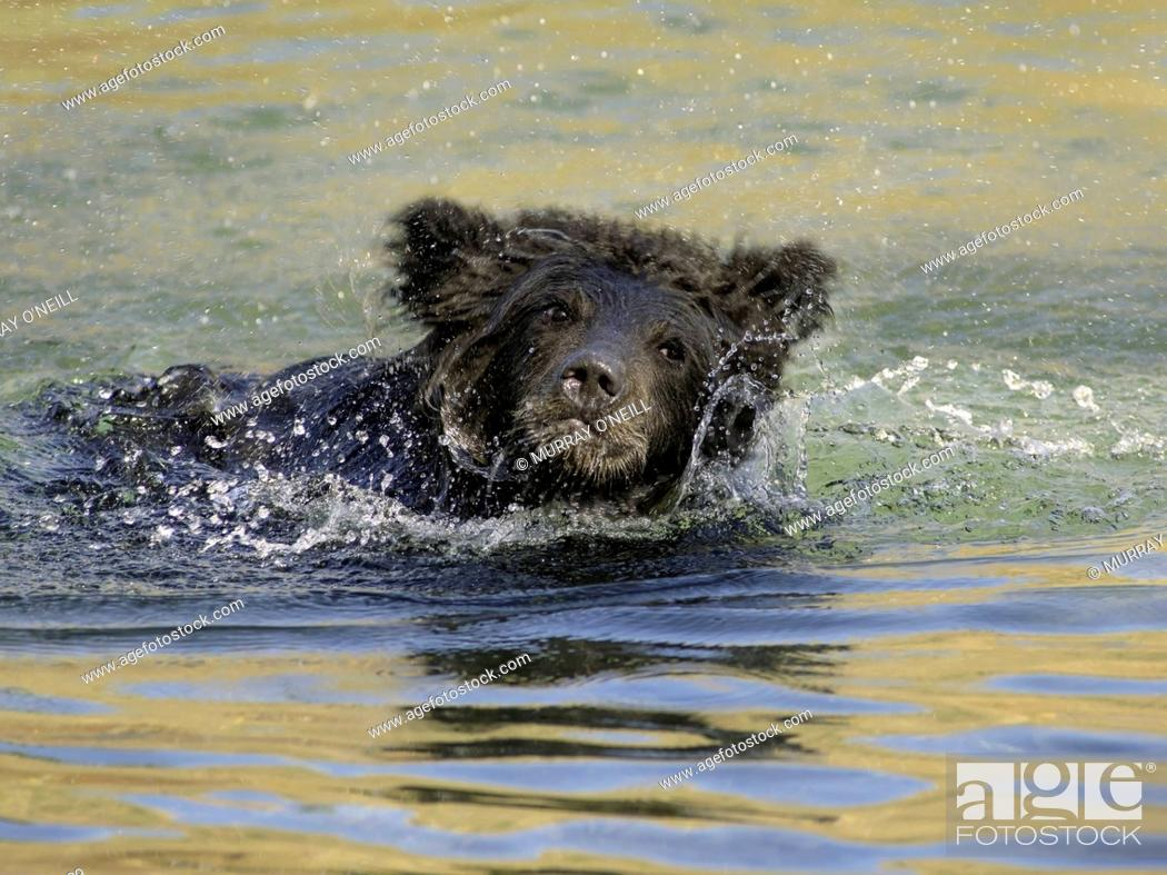 Stock Photo: Grizzly Bear (Ursus arctos horribilis), COY (Cub-Of-the-Year), first year cub, Fall, Autumn, swimming in salmon stream, Central British Columbia, Canada.