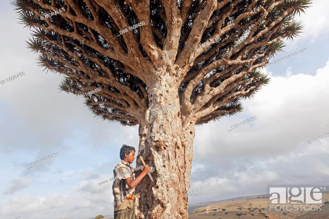 Stock Photo: Dragon's blood tree (Dracaena cinnabari), harvest of the red gum, dried resin is used for his medicinal and dyeing properties, Diksam, Socotra island.