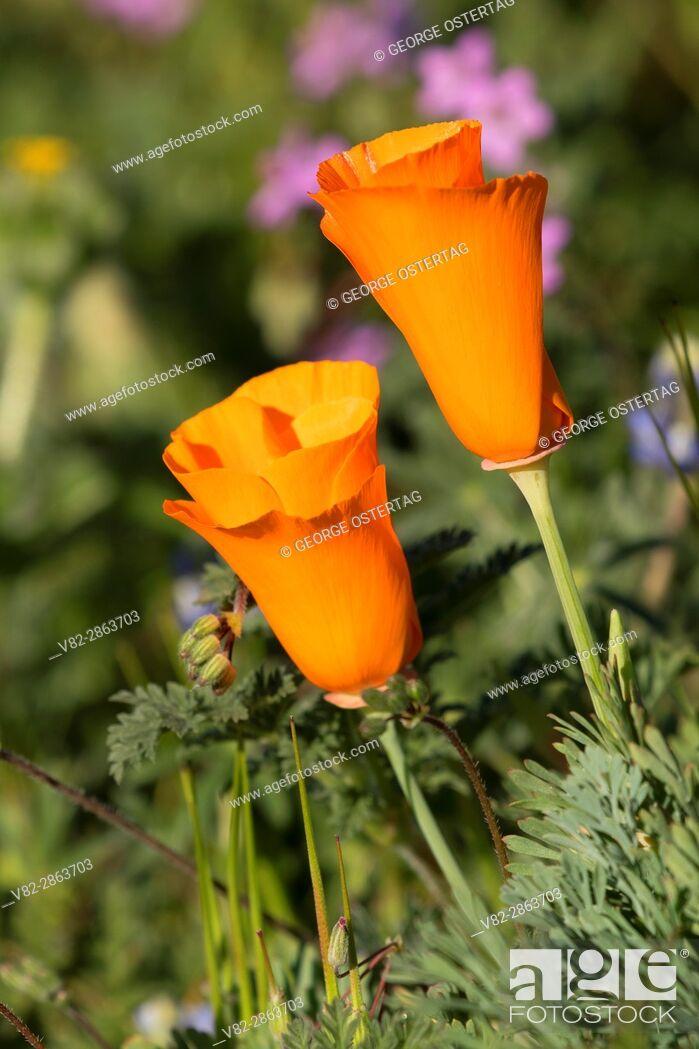 Stock Photo: California poppies (Eschscholzia californica), Antelope Valley California Poppy State Reserve, California.