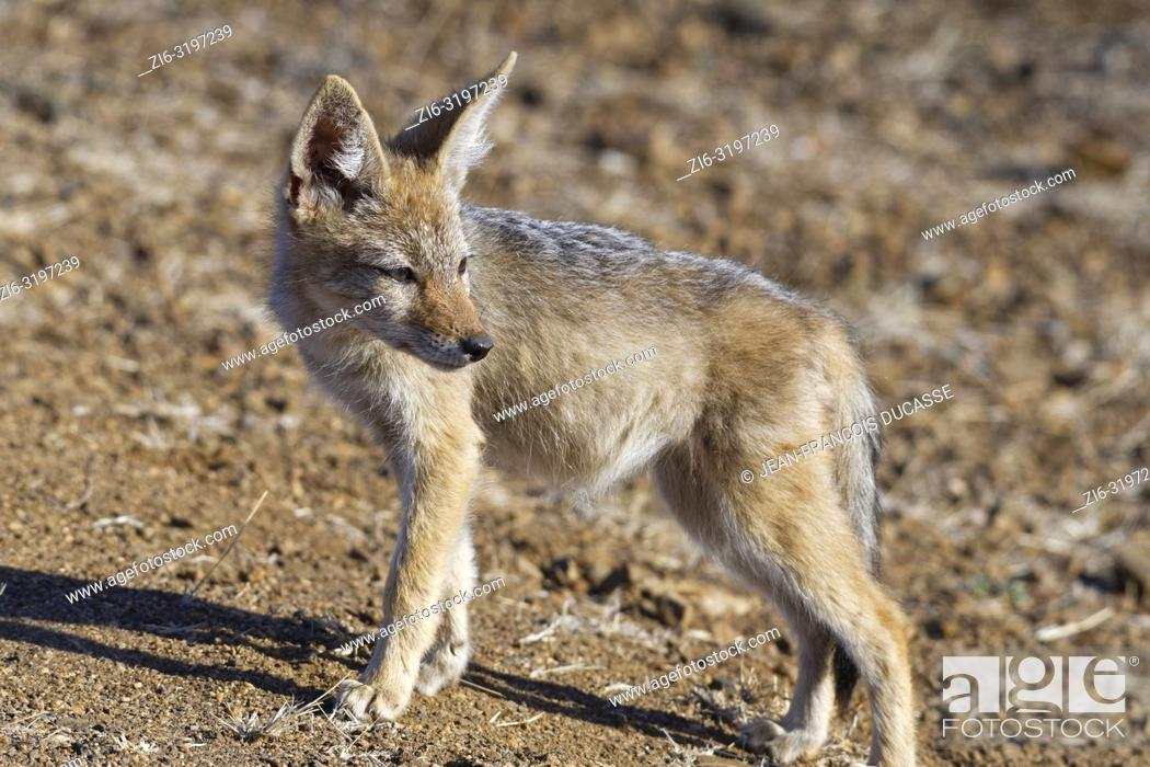 Stock Photo: Black-backed jackal (Canis mesomelas), cub, observing the surroundings, Kruger National Park, South Africa, Africa.