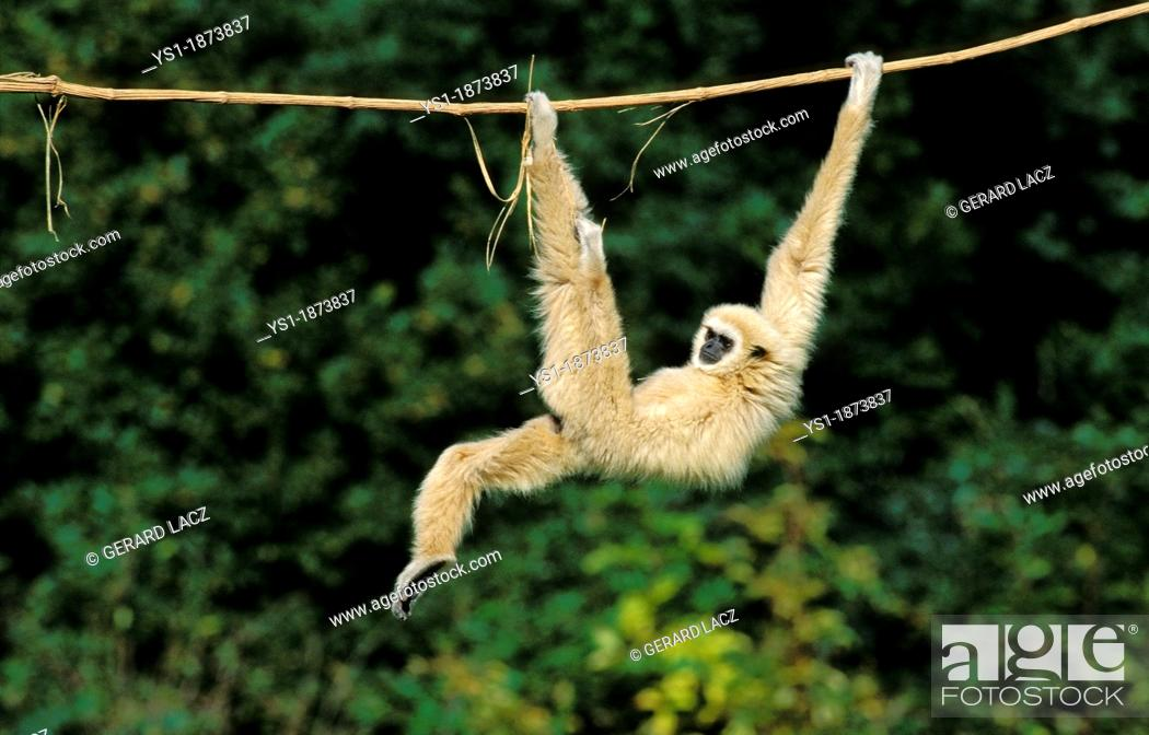 Stock Photo: White-Handed Gibbon, hylobates lar, Adult hanging from Liana, Funny Posture.