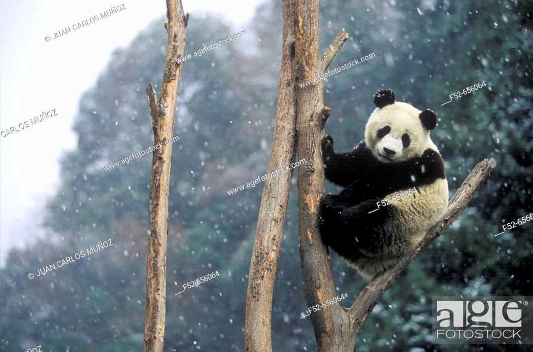 Stock Photo: Giant Panda (Ailuropoda melanoleuca).  Wolong National Natural Reserve. China.