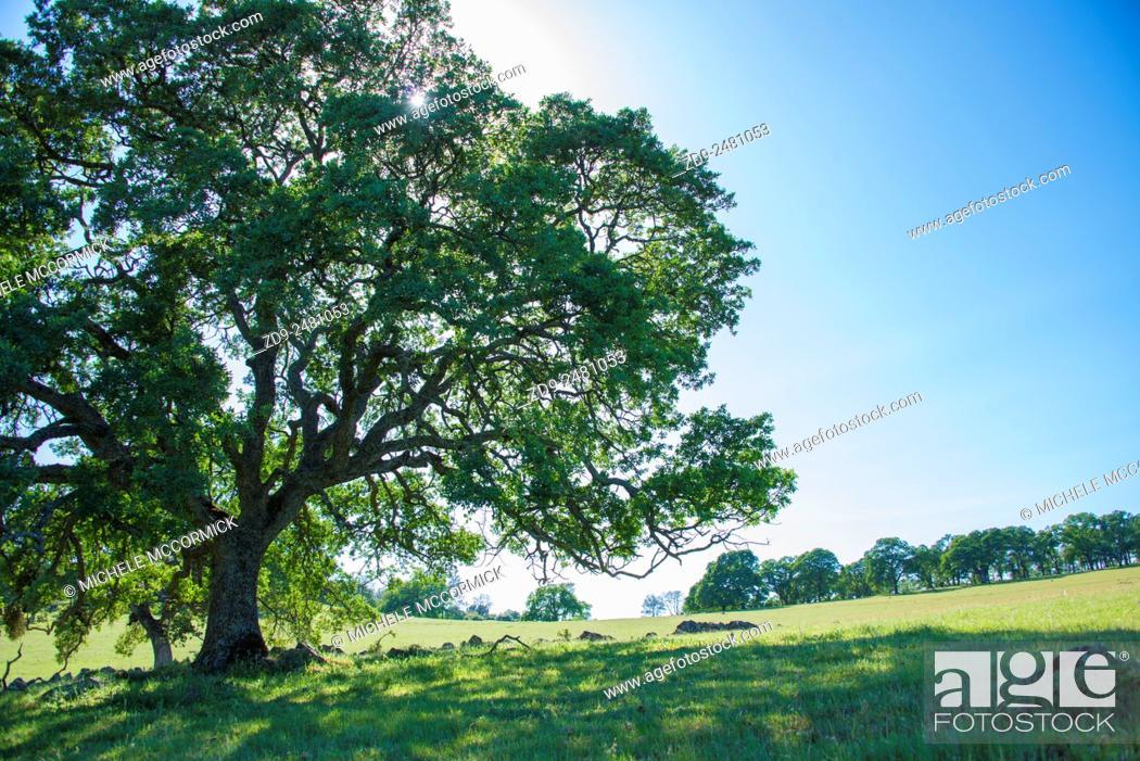 Stock Photo: Majestic oaks highlight a California landscape.