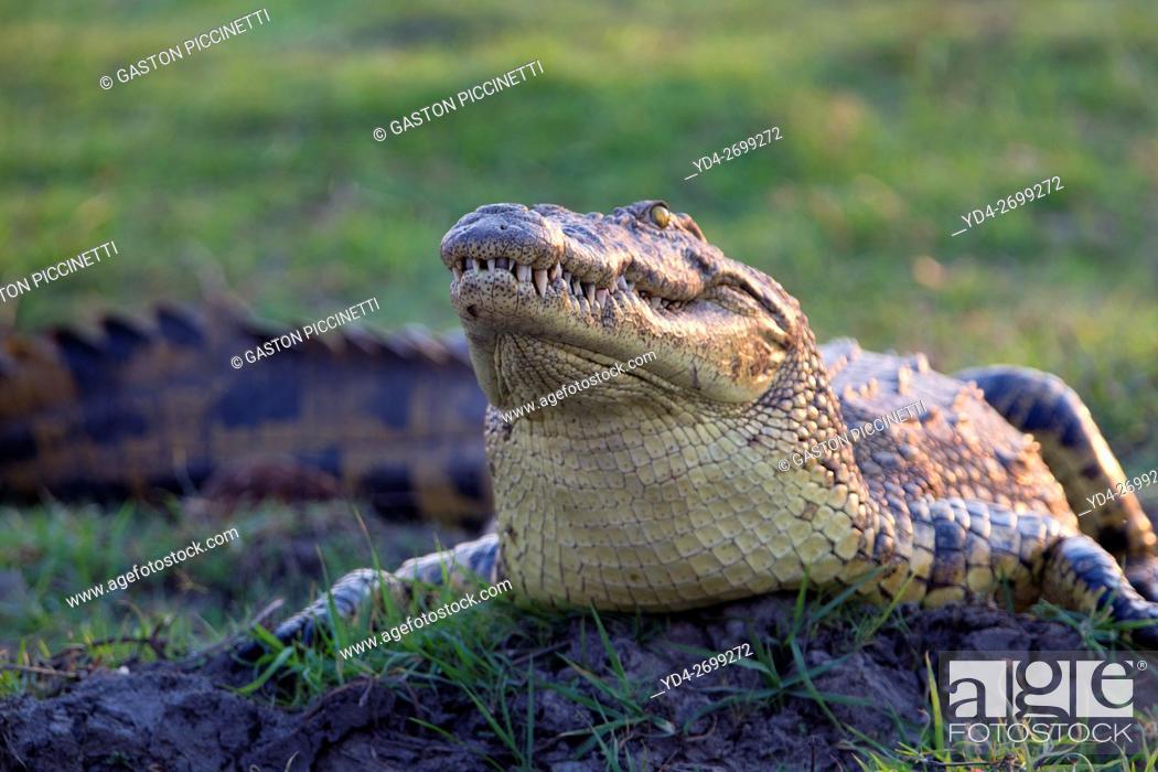 Stock Photo: Nile Crocodile (Crocodylus niloticus), crawling through mud along Chobe River, Chobe National Park, Botswana.