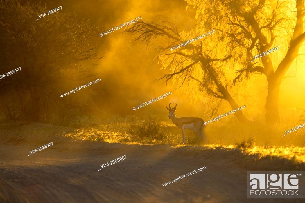 Photo de stock: Springbok (Antidorcas marsupialis), Kgalagadi Transfrontier Park in rainy season, Kalahari Desert, South Africa/Botswana.