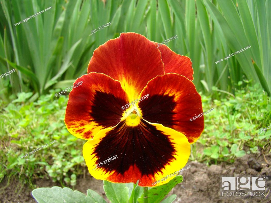 Stock Photo: Pansy,Viola x wittrockiana Flower, The Pansy is a plant cultivated as a garden flower, India.
