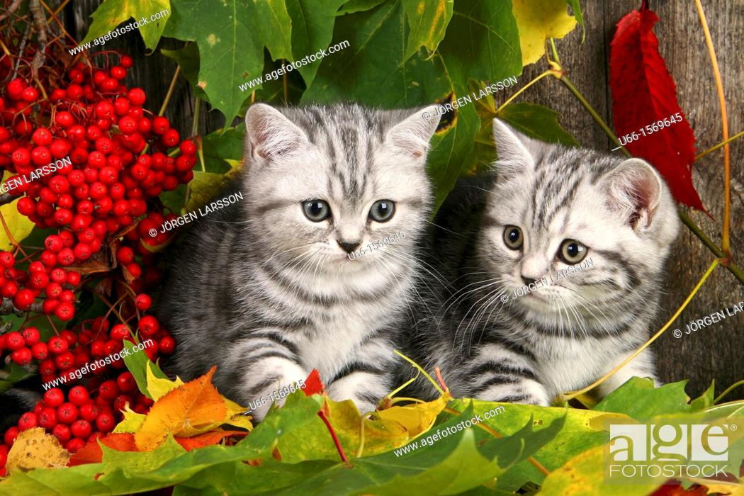 Imagen: Cat, Brittish shorthair, autumn.