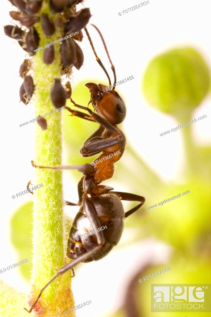 Stock Photo: Insect on a bean plant.