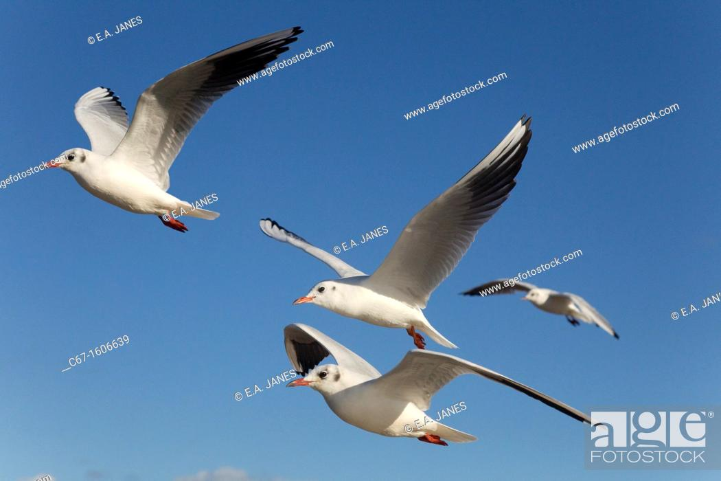 Photo de stock: Black Headed Gulls Larus Ridibundus in flight Autumn.