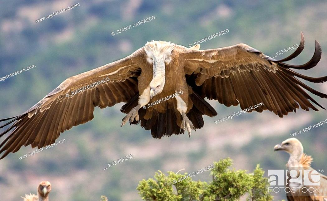 Stock Photo: Griffon vulture (Gyps fulvus), landing.