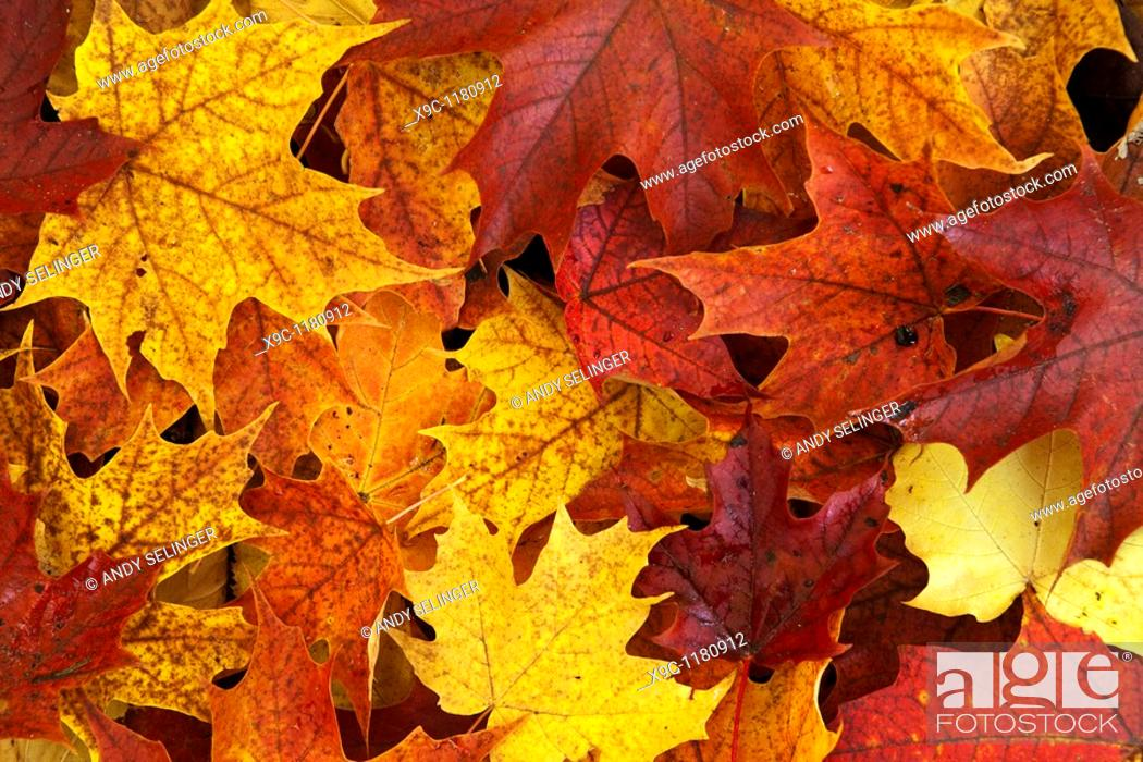 Stock Photo: Maple Leaves in Autumn.