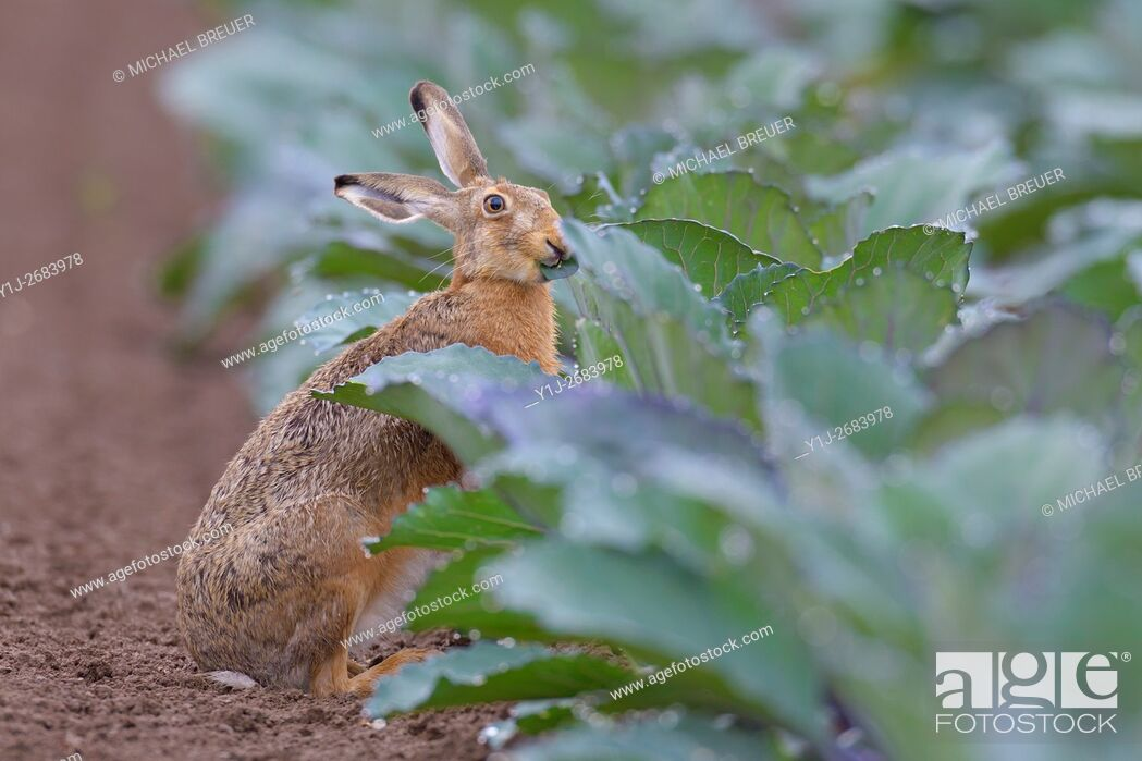 Stock Photo: European Brown Hare (Lepus europaeus) in Red Cabbage Field, Summer, Hesse, Germany, Europe.