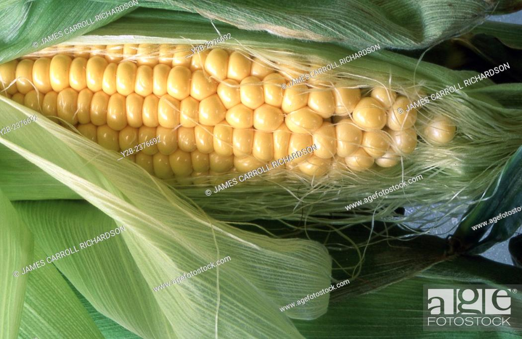 Stock Photo: Yellow corn, a farmer's staple in central and southern usa.
