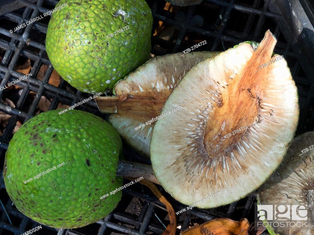 Stock Photo: Kauai Hawaii Garden, Ulu, breadfruit.