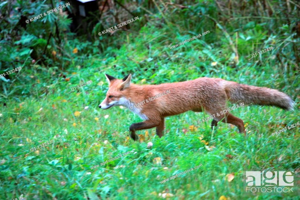 Stock Photo: Red fox (Vulpes vulpes) on a meadow.