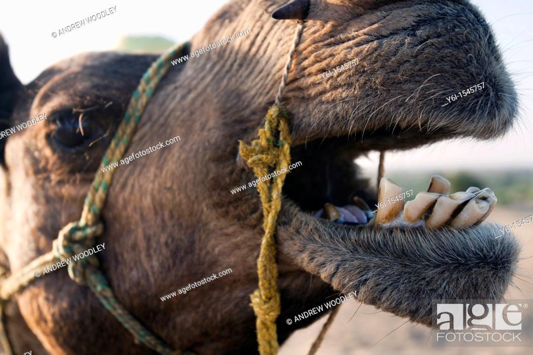 Stock Photo: Amusing camel expression Thar Desert near Khuri Rajasthan India.