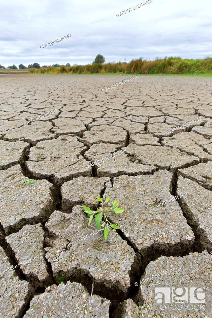 Stock Photo: New shoot of plant in dry cracked clay mud in dried up lake bed / riverbed caused by prolonged drought in summer in hot weather temperatures.