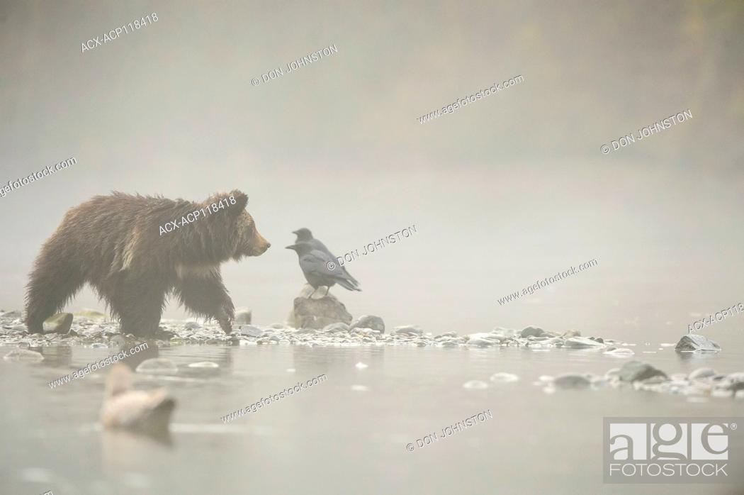 Stock Photo: Grizzly bear (Ursus arctos)- Cubs along shore of the Chilko River, attracted to spawning sockeye salmon, Chilcotin Wilderness, BC, Interior, Canada.