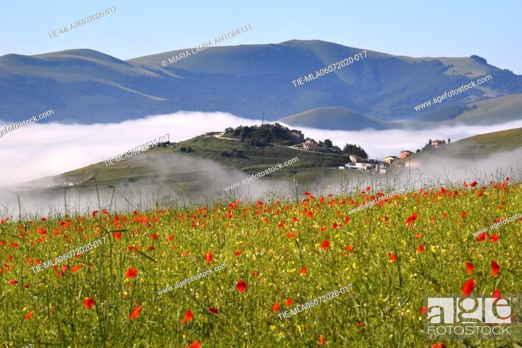 Stock Photo: Fog among the poppies of the lentils bloom , Castelluccio di Norcia (Perugia) ITALY-07-07-2020.
