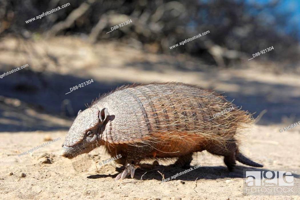 Stock Photo: Big Hairy Armadillo (Chaetophractus villosus), Patagonia, Argentina.
